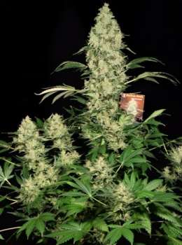 AK 47 female (SeriousSeeds) (Picture from Cannapot_Specials..)