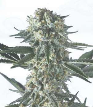 Batgum (Hero Seeds) (Picture from Cannapot_Specials..)