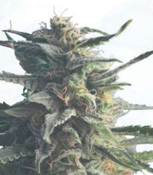 Diesel Girl (Hero Seeds) (Picture from Cannapot_Specials..)