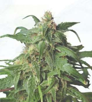 Zombie Rasta (Hero Seeds) (Picture from Cannapot_Specials..)