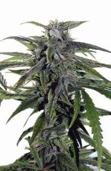 Auto Astarta (Picture from Mudro_Seeds..)