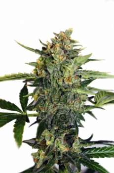 Diesel Ryder (Picture from Mudro_Seeds..)