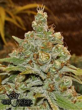 Mandalla (Picture from Mudro_Seeds..)