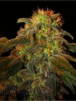 Mountain Kush (Picture from Mudro_Seeds..)