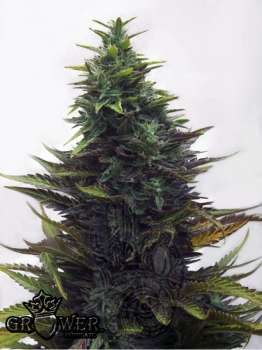 Satori (Picture from Mudro_Seeds..)
