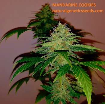 Mandarine Cookies (Picture from Natural_Genetics_Seeds..)