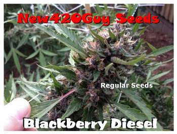 Blackberry Diesel (Picture from New420Guy_Seeds..)