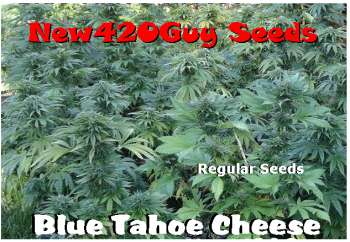 Blue Tahoe Cheese (Picture from New420Guy_Seeds..)