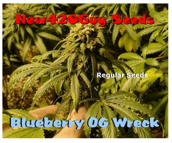 Blueberry OG Wreck (Picture from New420Guy_Seeds..)