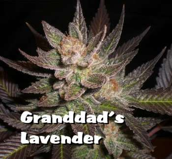 Granddad's Lavender (Picture from New420Guy_Seeds..)