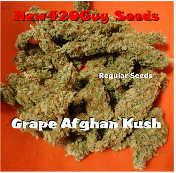 Grape Afghan Kush (Picture from New420Guy_Seeds..)