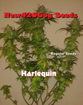Harlequin CBD (Picture from New420Guy_Seeds..)