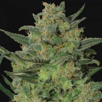 Himalaya Blue Diesel (Picture from New420Guy_Seeds..)