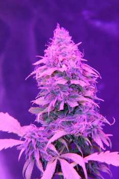 Midnight Cheese (Picture from New420Guy_Seeds..)
