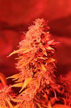 Redbeard Cookies (Picture from New420Guy_Seeds..)