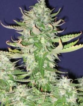 Sour Lowryder 2 (Picture from New420Guy_Seeds..)