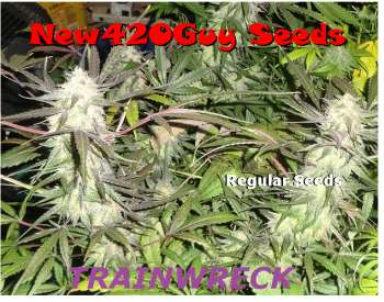 Trainwreck (Picture from New420Guy_Seeds..)