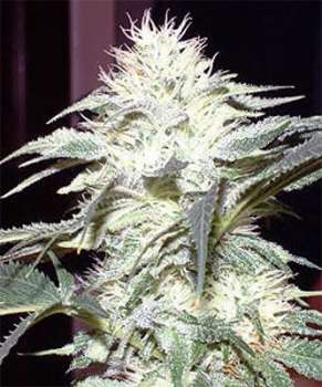 White Widow (Picture from New420Guy_Seeds..)