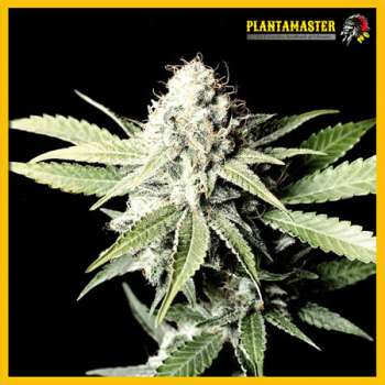 Auto Great White Shark (Picture from Plantamaster_Seeds..)