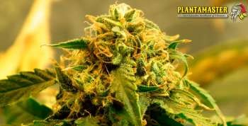 T-34 (Picture from Plantamaster_Seeds..)
