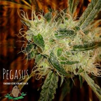 Pegasus (Picture from Third_Eye_Genetics..)
