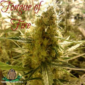 Tongue of Fire (Picture from Third_Eye_Genetics..)
